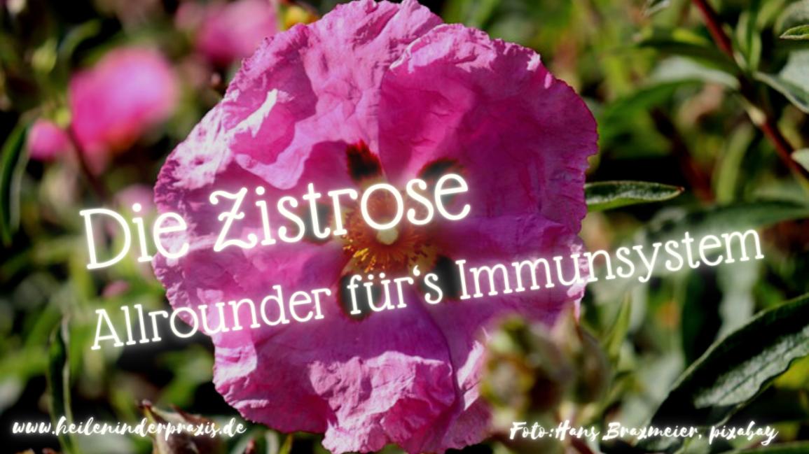 Die Zistrose –Allrounder für's Immunsystem