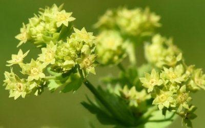 Die Heilpflanze Frauenmantel – Wenn der Name Programm ist